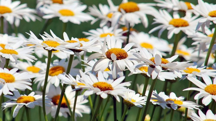 Chamomile, nature, beauty, wallpapers , Pc backgrounds, free photos