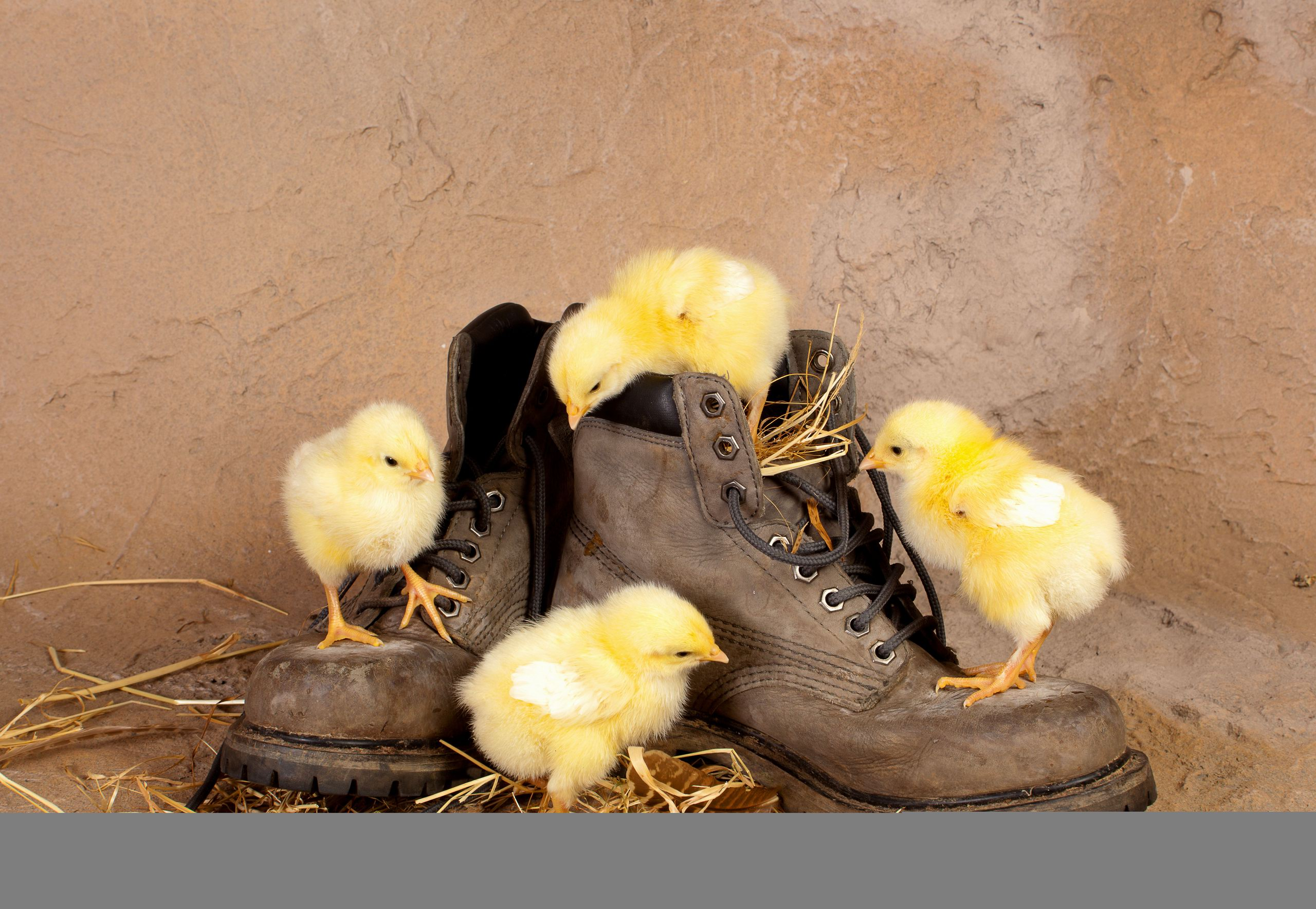 Chickens, chicks, boots, straw, curiosity, wallpapers , Pc backgrounds, free photos - HD wallpaper desktop backgrounds