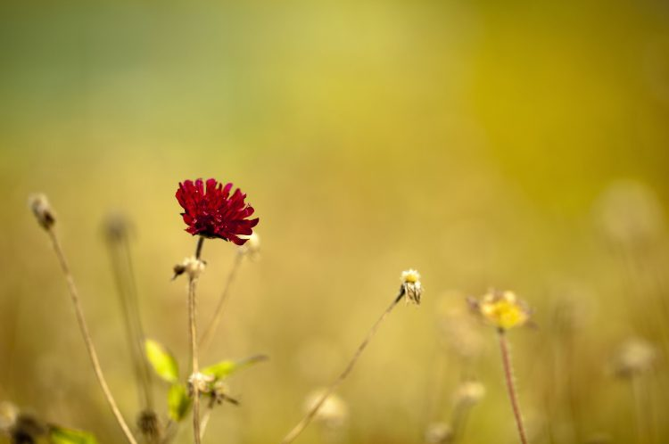 Flower, red, focus, macro, nature, wallpapers , Pc backgrounds, free photos
