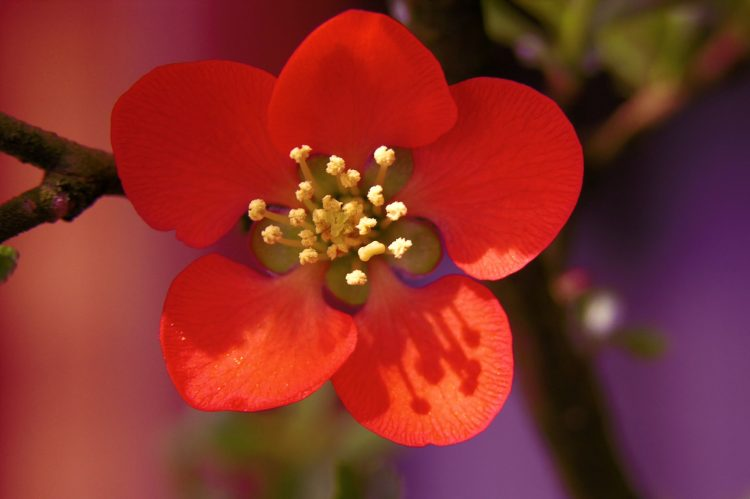 Flower, red, twig, wallpapers , Pc backgrounds, free photos