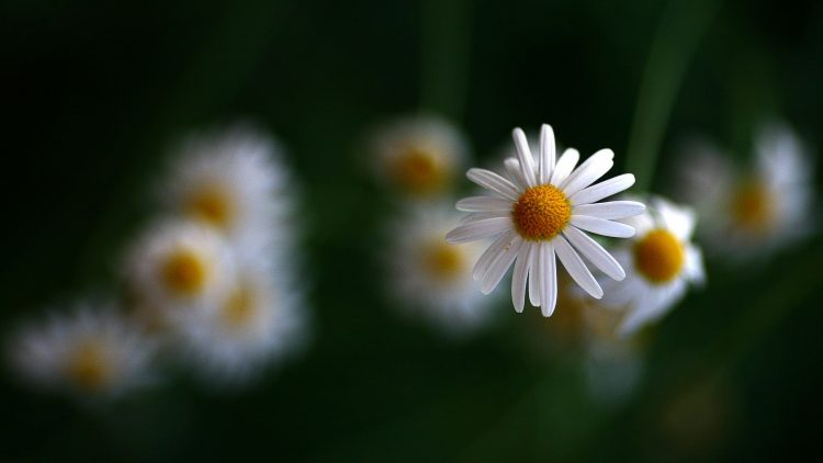 Flowers, Chamomile, color, wallpapers , Pc backgrounds, free photos