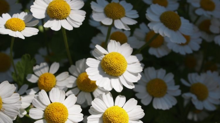 Flowers, Chamomile, nature 01, wallpapers , Pc backgrounds, free photos