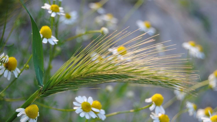 Flowers, Chamomile, summer, nature, wallpapers , Pc backgrounds, free photos