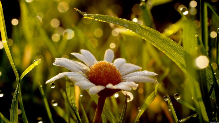Flowers, chamomile, nature, wallpapers , Pc backgrounds, free photos