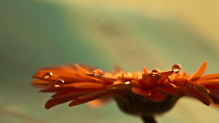 Flowers, gerbera, bud, petals, wallpapers , Pc backgrounds, free photos