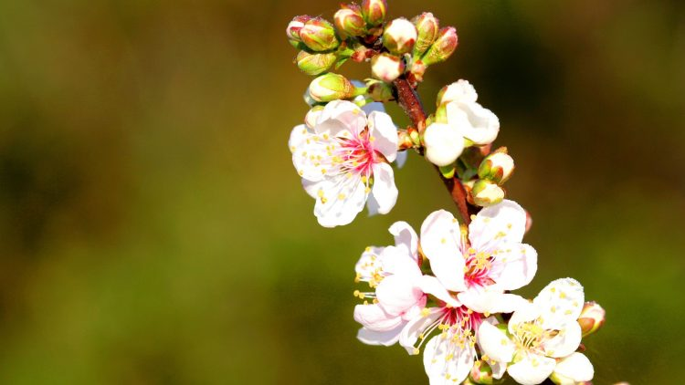branch, Flowers, bloom, spring, nature, wallpapers , Pc backgrounds, free photos