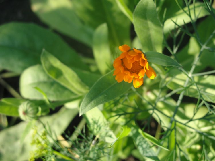 calendula, dill, greens, orandzhevy, wallpapers , Pc backgrounds, free photos