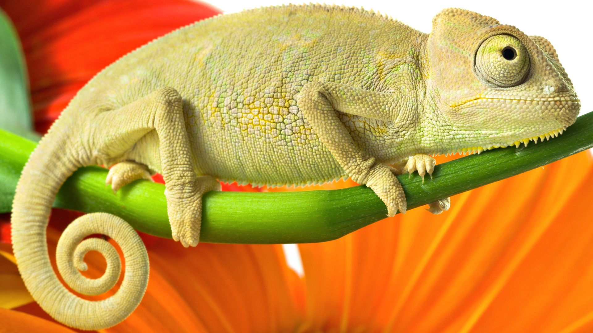chameleon, color, branch, green, orange, red, wallpapers , Pc backgrounds, free photos - HD wallpaper desktop backgrounds