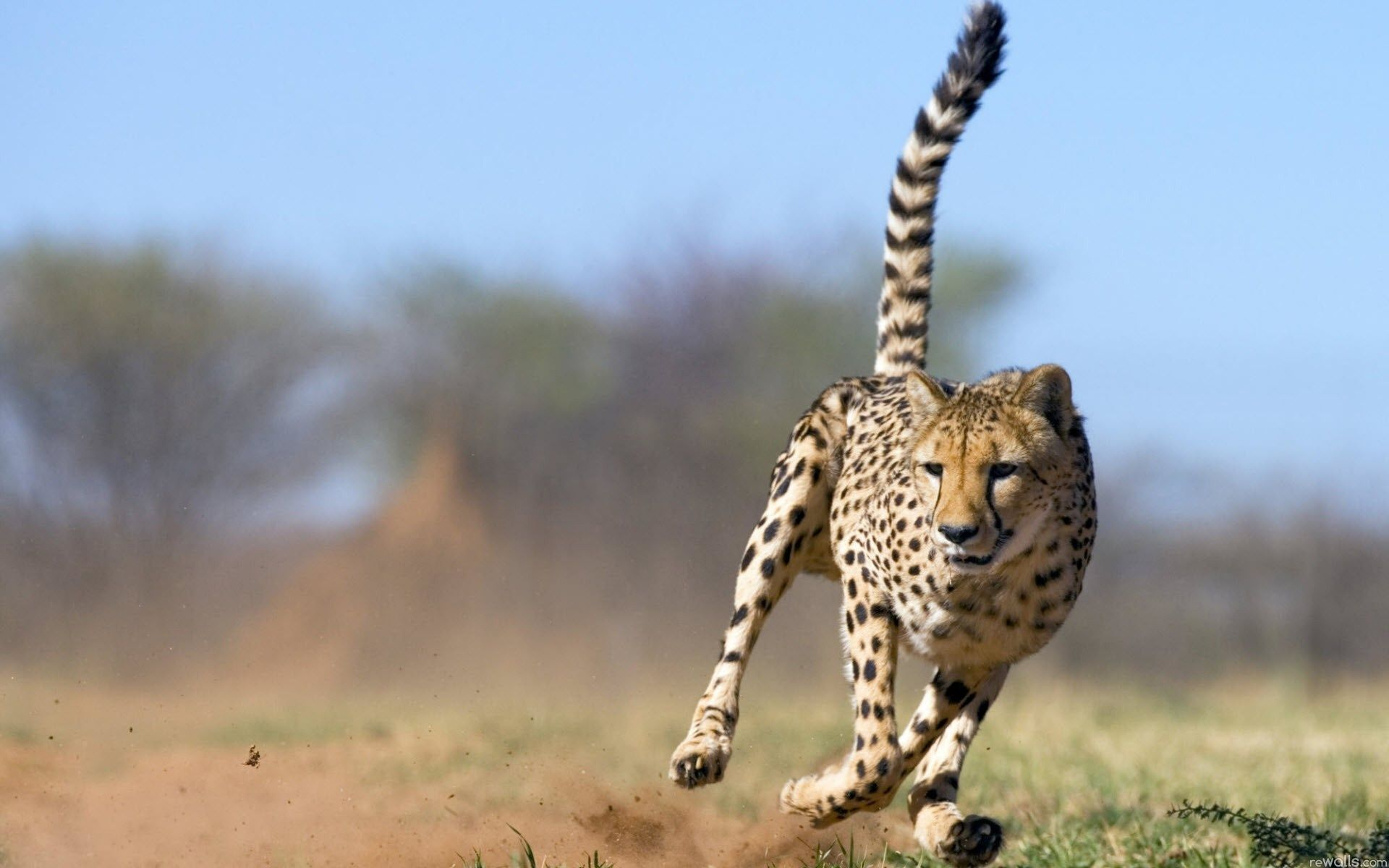 cheetah, hunting, run, wallpapers , Pc backgrounds, free photos - HD wallpaper desktop backgrounds