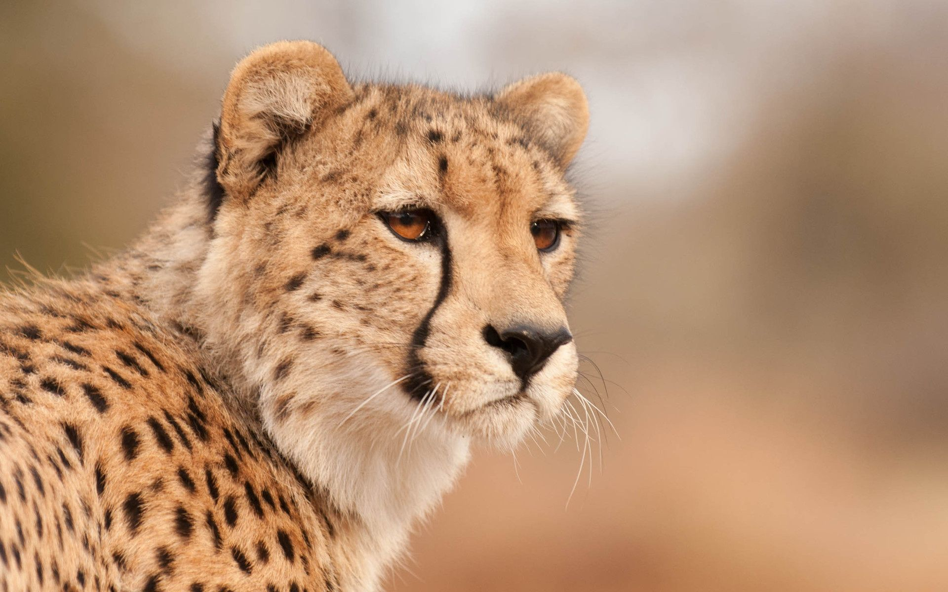 cheetah, looks, snout, wallpapers , Pc backgrounds, free photos - HD wallpaper desktop backgrounds
