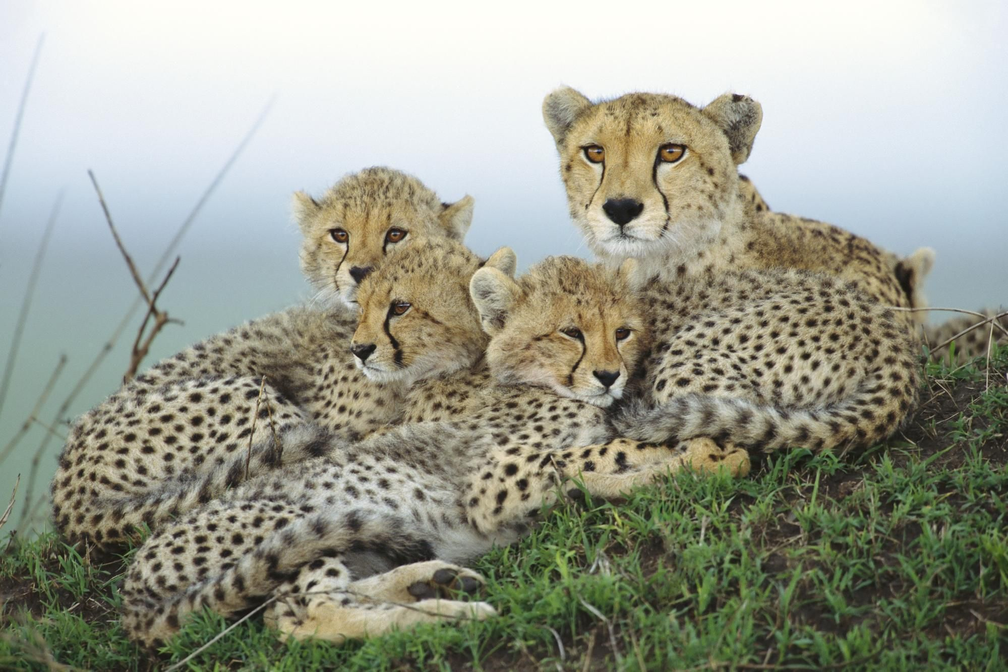cheetah, mother, cubs, Family, wallpapers , Pc backgrounds, free photos - HD wallpaper desktop backgrounds