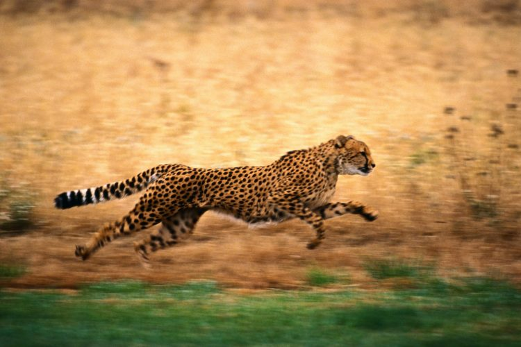 cheetah, running, nature, wallpapers , Pc backgrounds, free photos