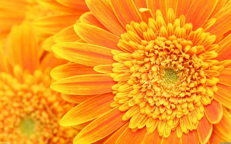 flower, oranzhevyy.romashka, wallpapers , Pc backgrounds, free photos
