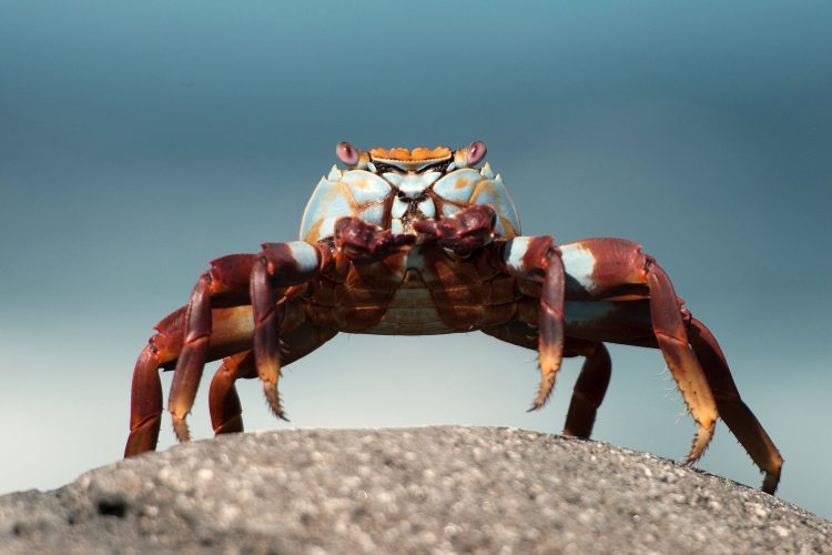 Crab, claw, eye, pose, wallpapers , Pc backgrounds, free photos