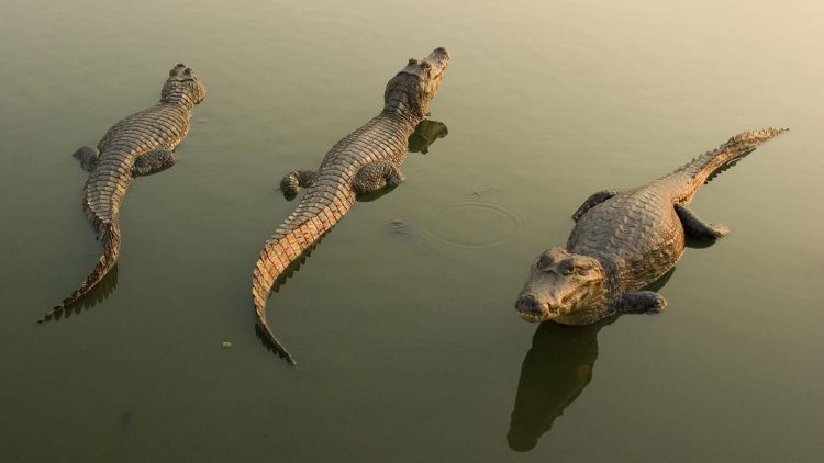 Crocodiles, caimans, water, reflection, wallpapers , Pc backgrounds, free photos