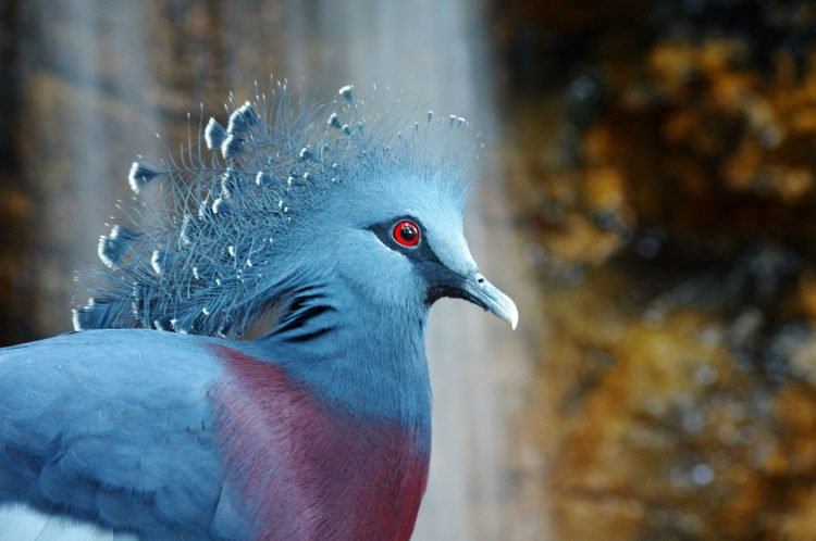Crowned Pigeon, bird, wallpapers , Pc backgrounds, free photos