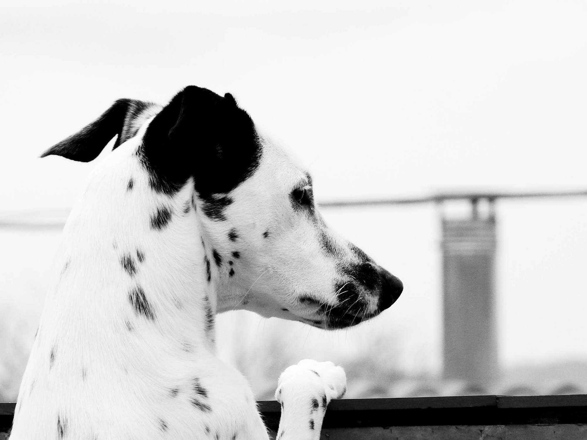 Dalmatian, black and white, view, wallpapers , Pc backgrounds, free photos