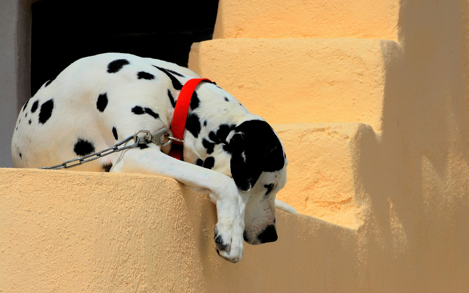 Dalmatian, dog, watch, wallpapers , Pc backgrounds, free photos