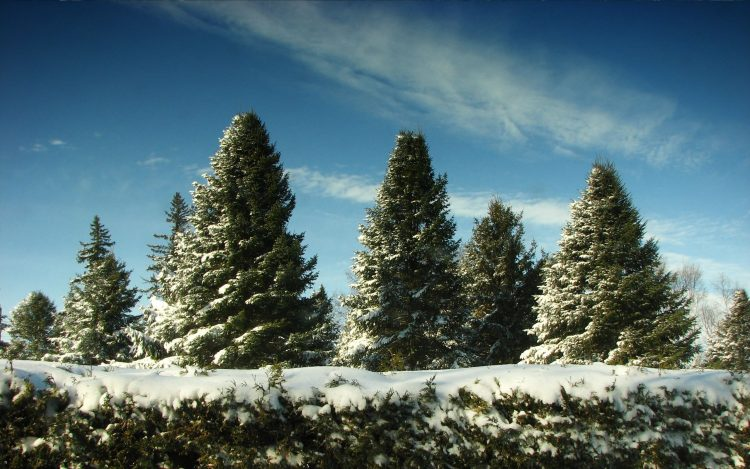 Trees, snow, Christmas in June, wallpapers , Pc backgrounds, free photos