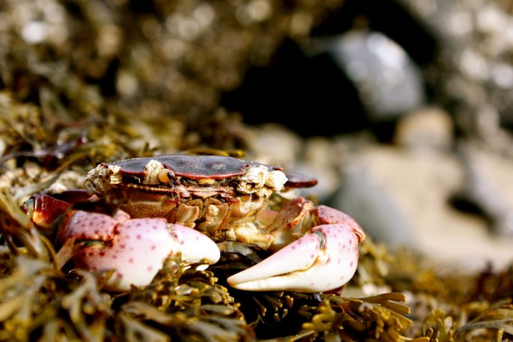 crab, pincers, macro, wallpapers , Pc backgrounds, free photos