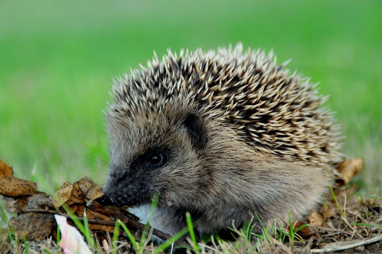crew cut, С—zhachok, spiny, needles, wallpapers , Pc backgrounds, free photos