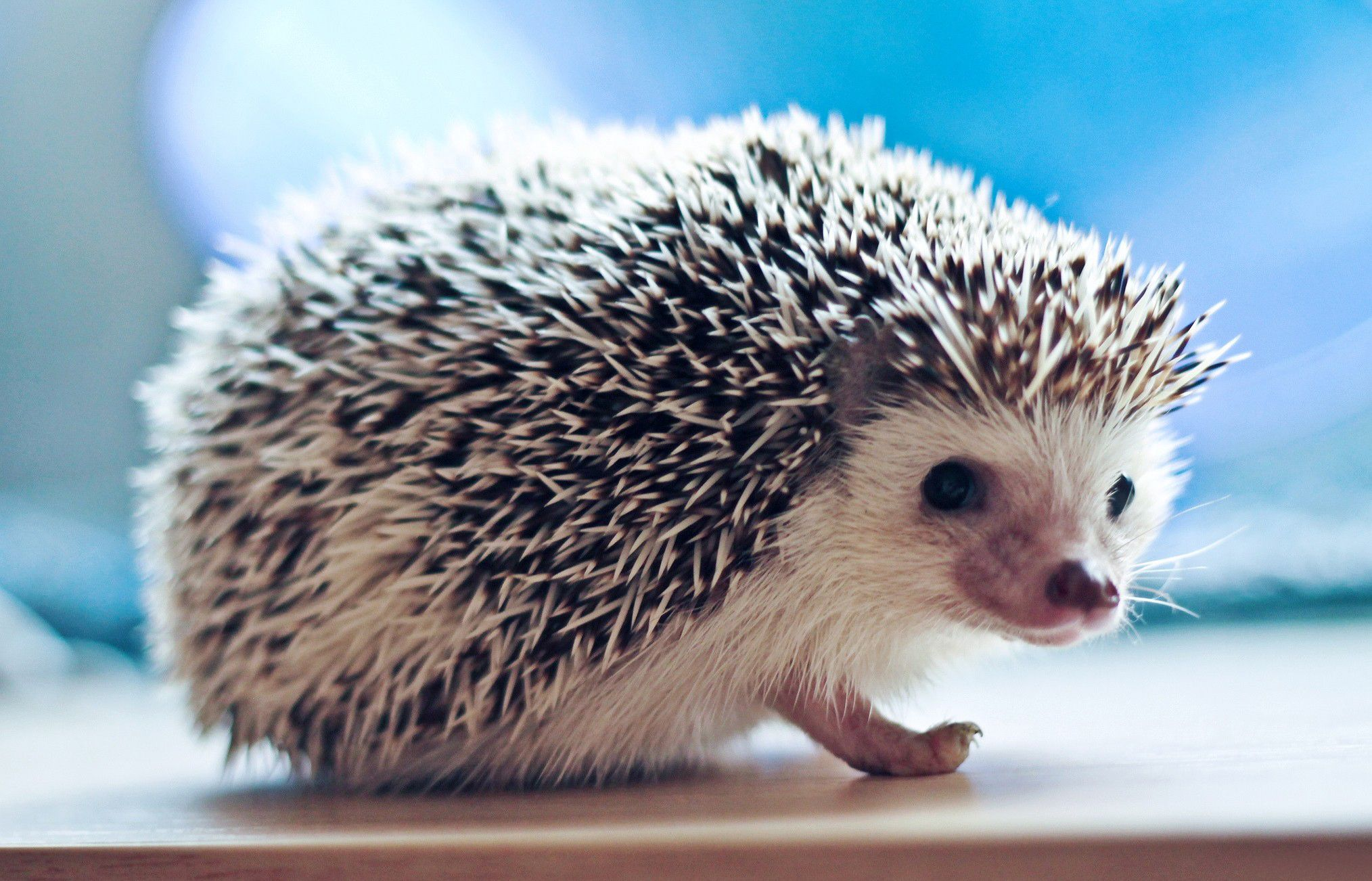 crew cut, view, needles, hedgehog, Crew cut, wallpapers , Pc backgrounds, free photos