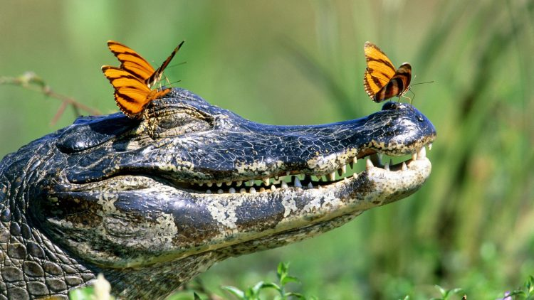 crocodile, Butterflies, jaws, teeth, wallpapers , Pc backgrounds, free photos