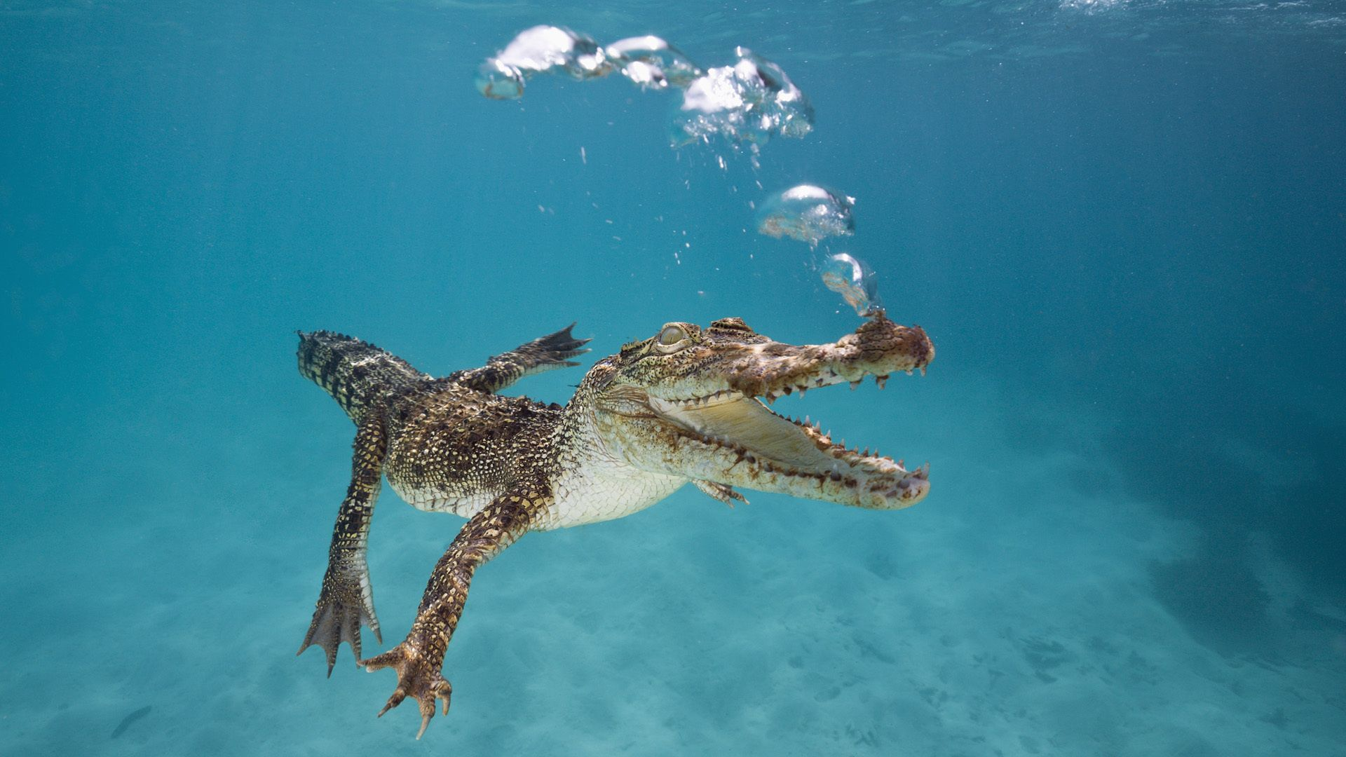 crocodile, alligator, cayman, wallpapers , Pc backgrounds, free photos