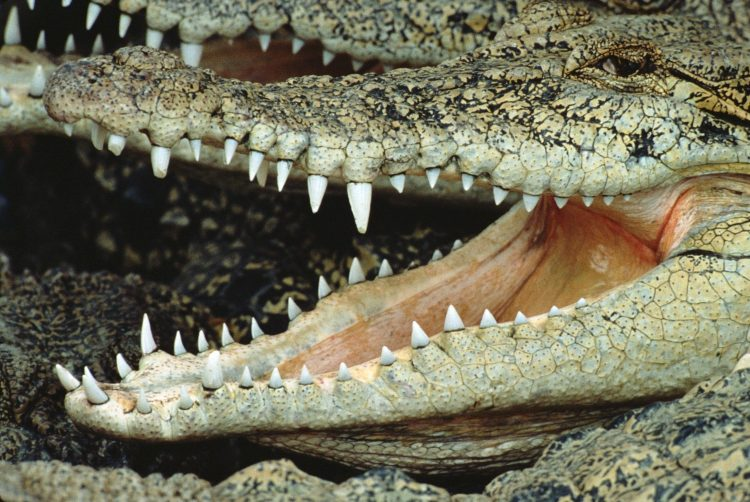 crocodile, maw, teeth, wallpapers , Pc backgrounds, free photos