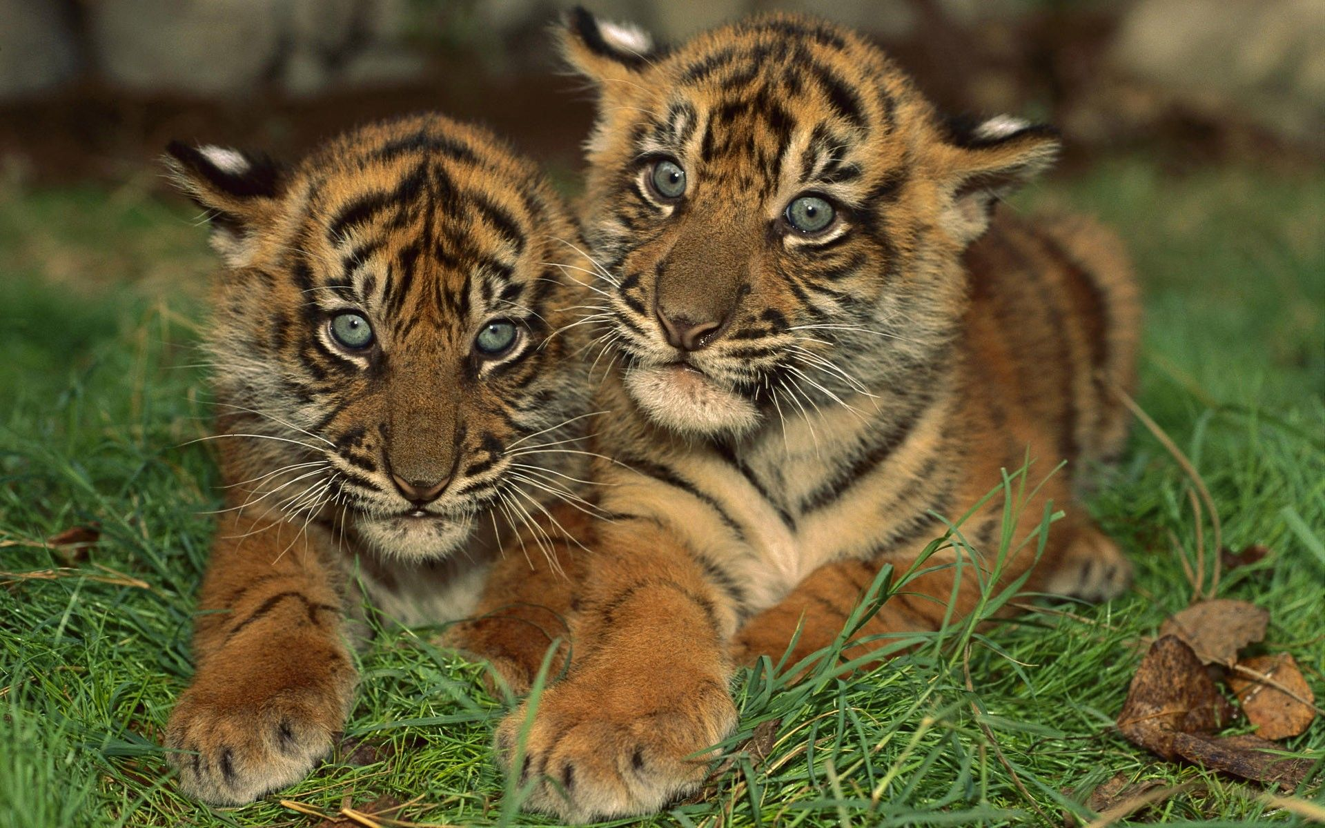 cubs, striped, small, wallpapers , Pc backgrounds, free photos