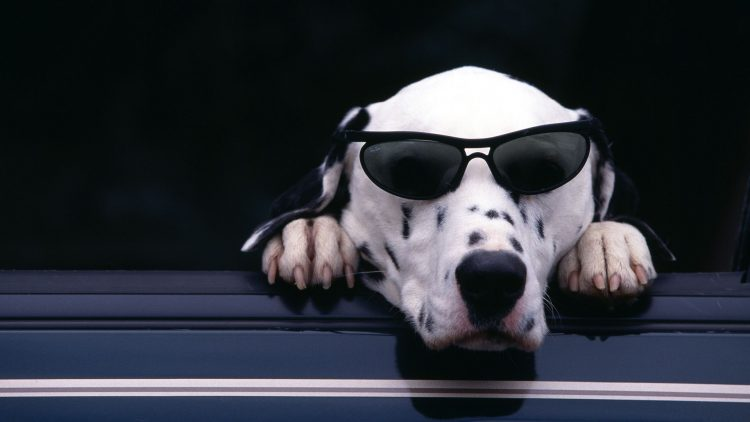 dalmatian, dog, sunglasses, cute, wallpapers , Pc backgrounds, free photos