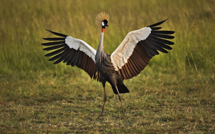 dance, Crowned, crane, wallpapers , Pc backgrounds, free photos