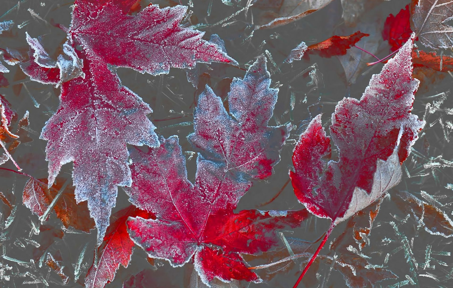 colorful, leaves, winter, frosted, fall, wallpapers , Pc backgrounds, free photos - HD wallpaper desktop backgrounds